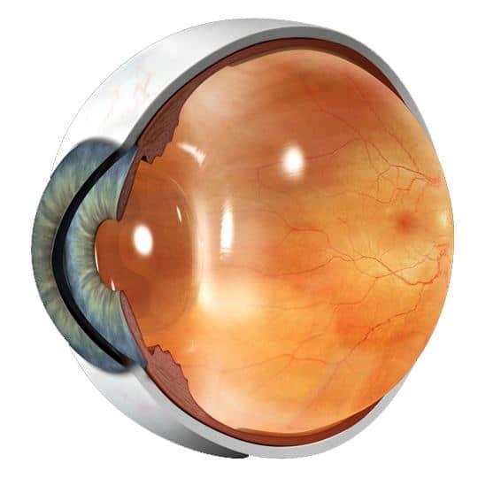 Doorsnede oog